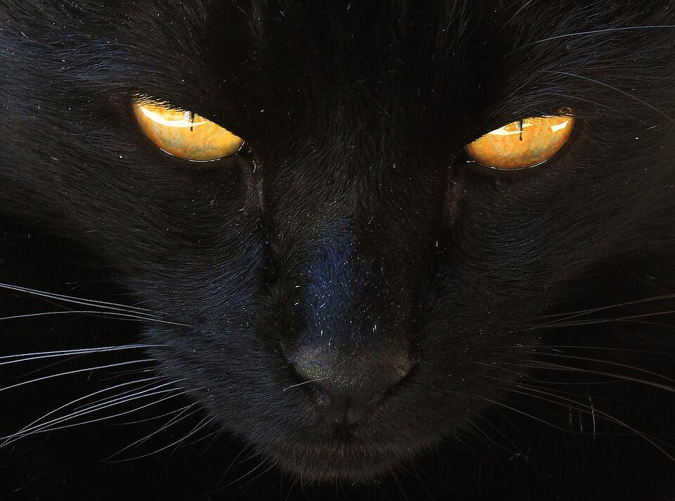 where do black cats come from