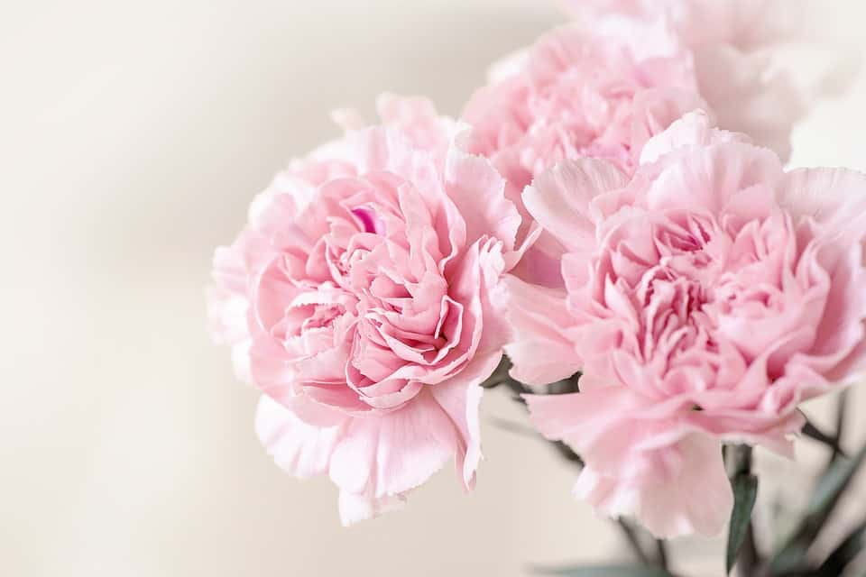Pink carnations are cheap