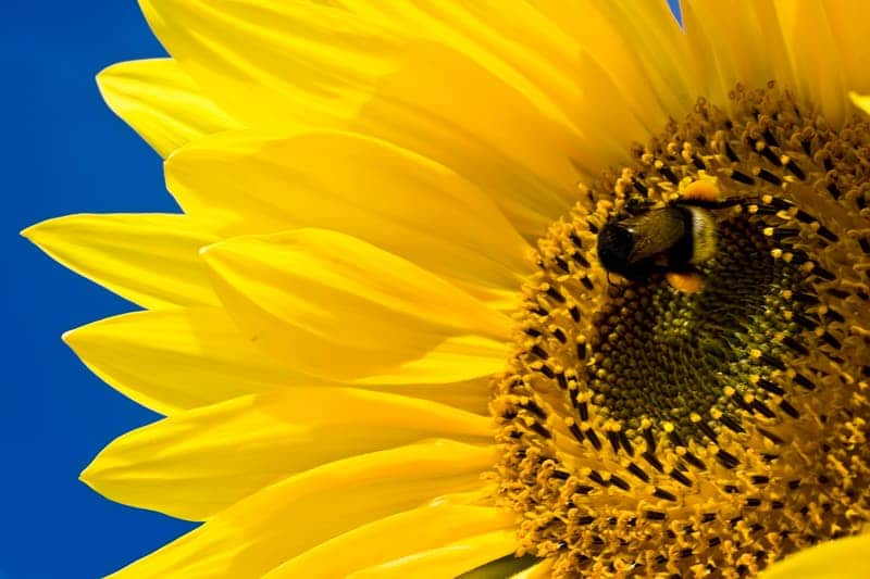 what can sunflowers do for you