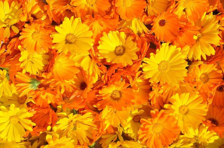 October Birth Flower cosmos and marigold