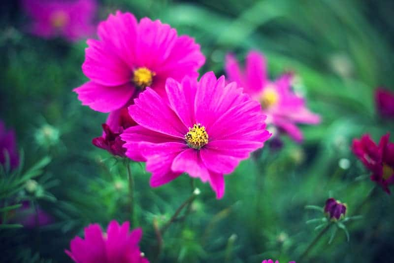 October Birth Flower and wonderful cosmos
