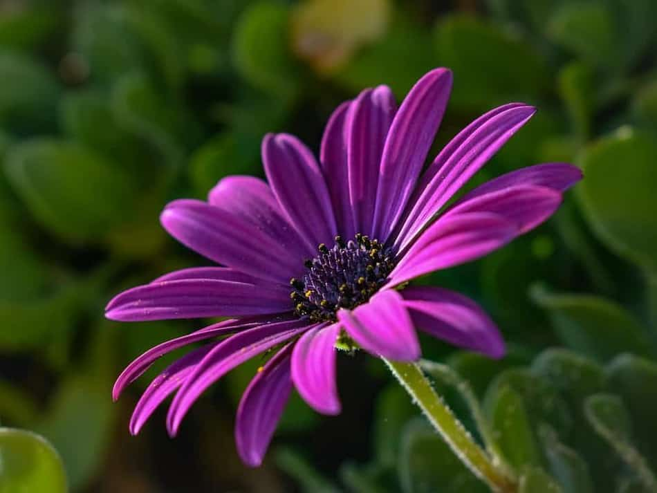 check out the African daisy