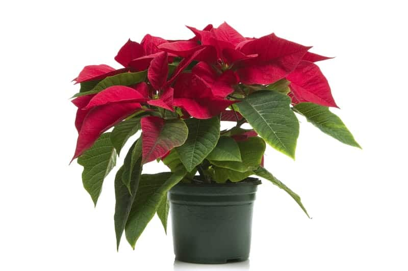 Poinsettia for a decoration today