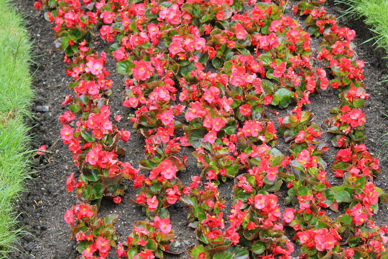 Perennial Flowers that are red