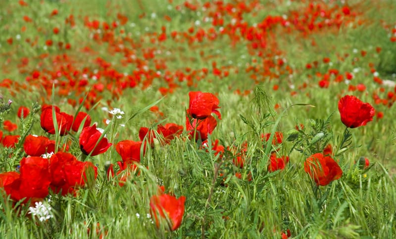 Wildflowers are red all over