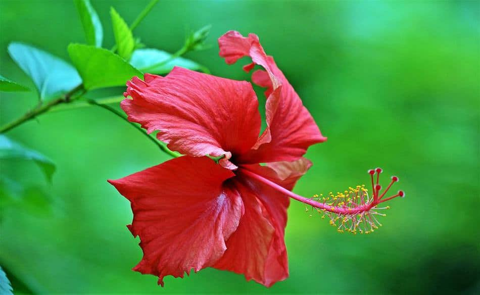 Hawaiian Flowers that are famous