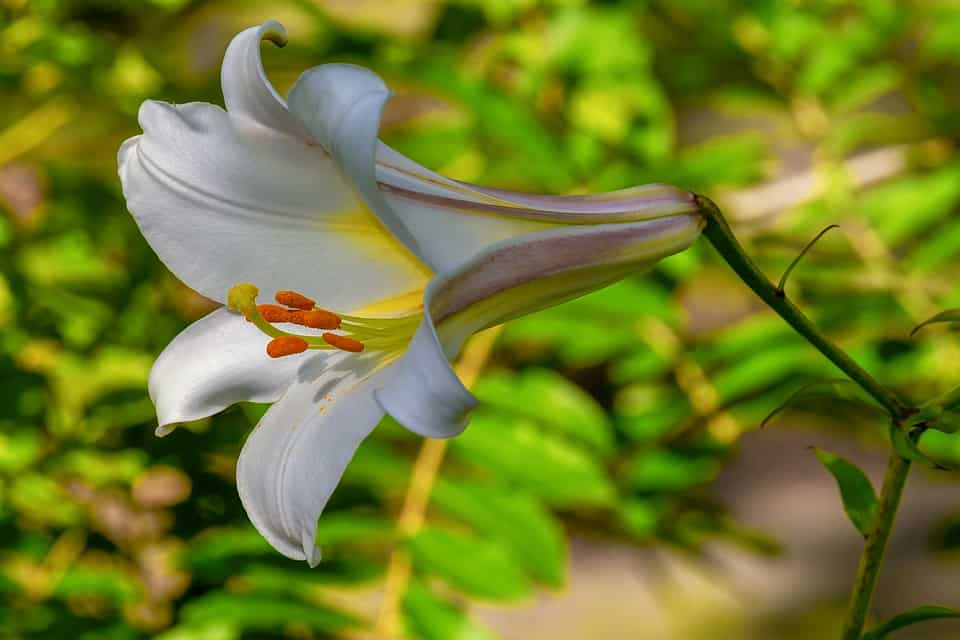 Lily Flower is beautiful