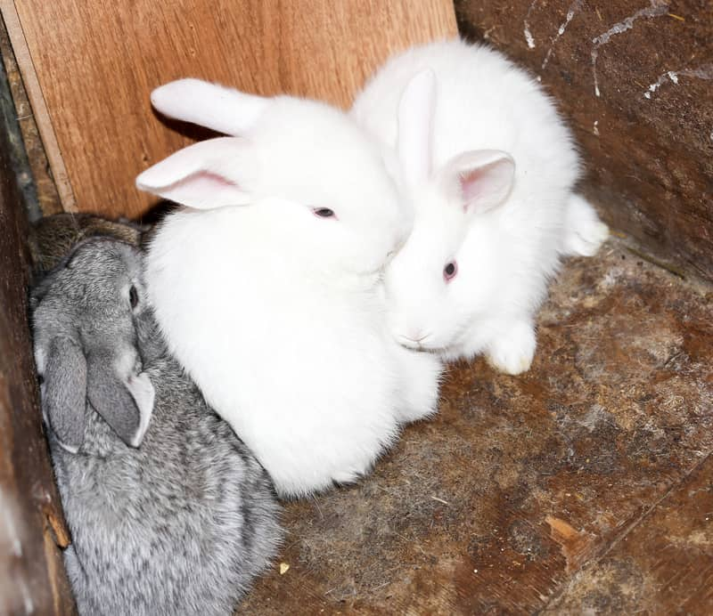 bunny rabbits for sale