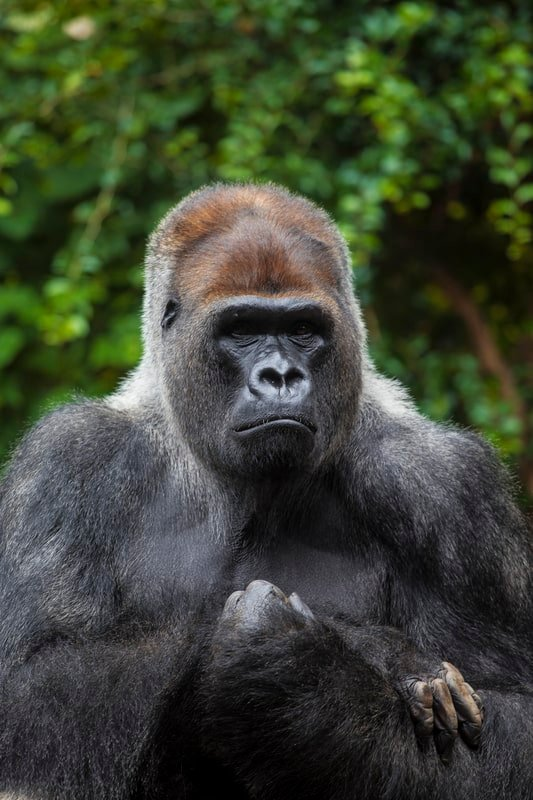 male gorilla in thought