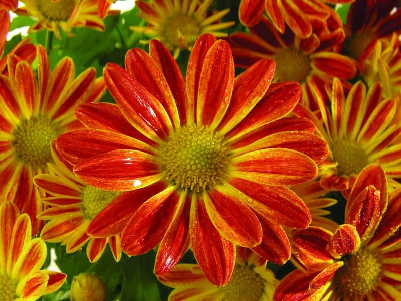 Gazanias for all to see